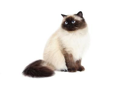 Himalayan Cat Colors   LoveToKnow