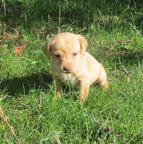 mini lab puppies mini lab puppies