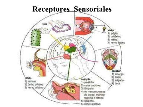 imagenes sensorial definicion y ejemplos receptores i