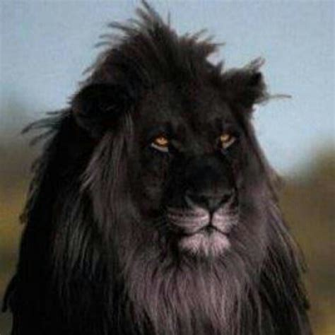 film with a black lion black lion images quotes quotesgram