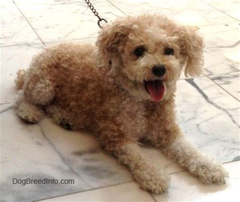 mini poodle info miniature boston terrier when grown a miniature