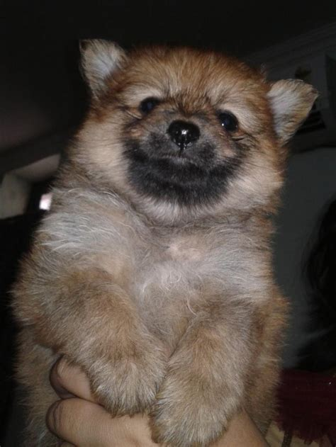 prices for pomeranian puppies pomeranian show quality puppies for sale breeds picture