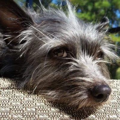 terrier mix puppies for adoption adorable cairn terrier mix for adoption to loving home in laguna niguel ca adopt