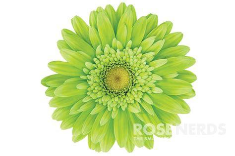 image gallery lime gerbera daisies
