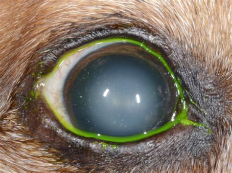 nuclear sclerosis in dogs south veterinary ophthalmology