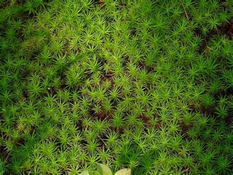 Sphagnum Moss sphagnum moss and wound care heavenly herbals