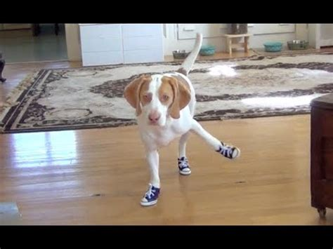 dog  trouble walking  sneakers cute dog maymo youtube