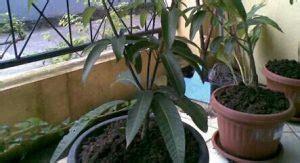 Bibit Mangga Arumanis 7 cara menanam mangga arumanis tabulot ilmubudidaya