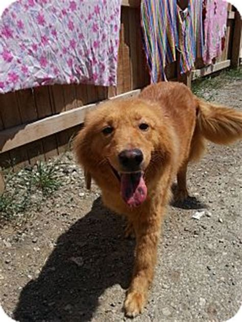 golden retriever indianapolis tessa adopted indianapolis in golden retriever chow chow mix
