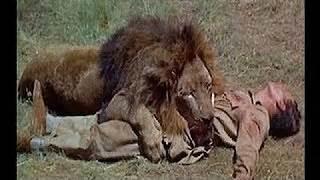 imagenes impresionantes de ataques de animales salvajes ataques de leones a humanos videos reales e
