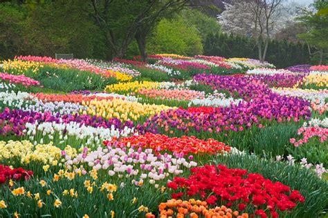 tulips   park hd wallpaper background image
