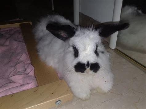 come posso cucinare il coniglio coniglio guinzaglio passeggiate con il coniglio