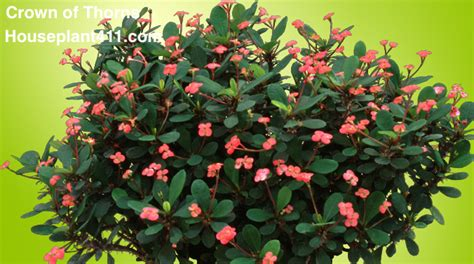crown  thorns plant   grow care tips houseplant