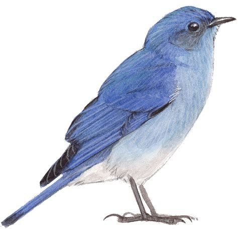 bluebird drawing