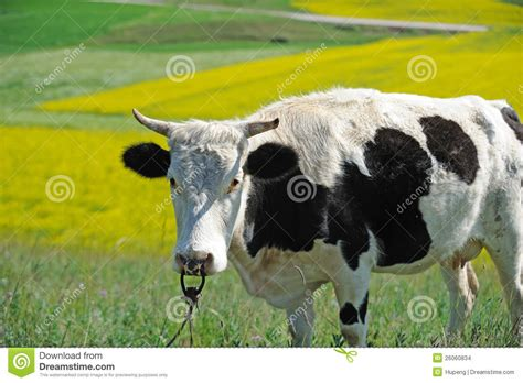black and white cow stock images image 26060834