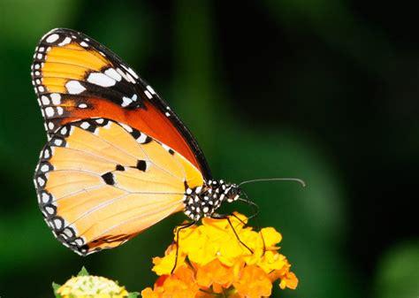 tigre y mariposa imagenes imagenes de mariposas tigre im 225 genes y fotos