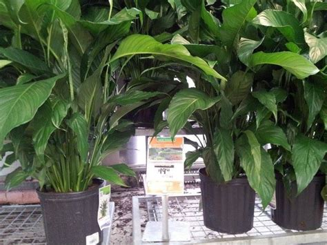 indoor plants home depot green thumb and garden stuff