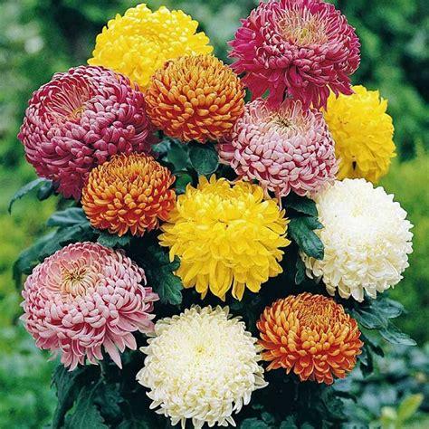 wallpaper bunga krisan hasil gambar untuk gambar bunga krisan bunga pinterest