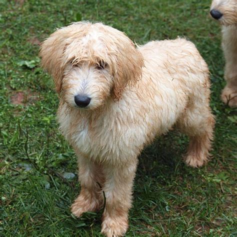goldendoodle puppy rescue goldendoodle rescue michigan breeds picture