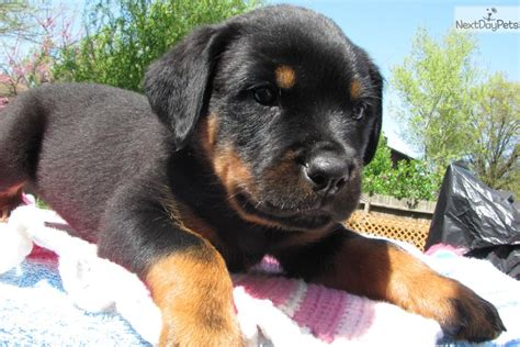 rottweiler puppies for sale st louis rottweiler puppy for sale near st louis missouri 4b7a2500 5631