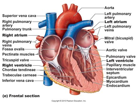 diagram of on the the human diagram labeled anatomy organ