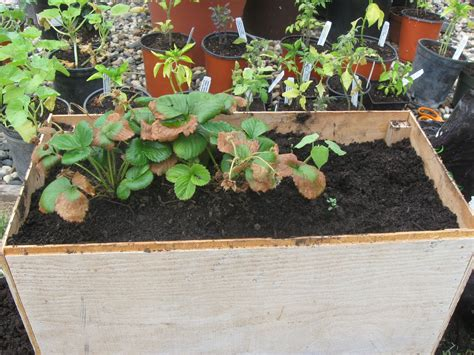 growing strawberries in raised beds my first garden growing tips strawberries in raised beds