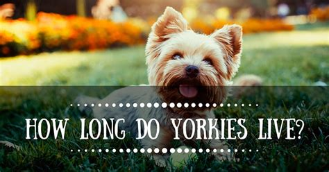 how do yorkies live in years how do yorkies live the question you ask but don t want answered