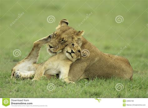 imagenes de leones y sus cachorros cachorro de le 243 n y leona fotos de archivo libres de