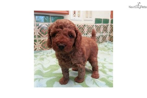 the puppy place tucson poodle miniature puppy for sale near tucson arizona e940f287 8651