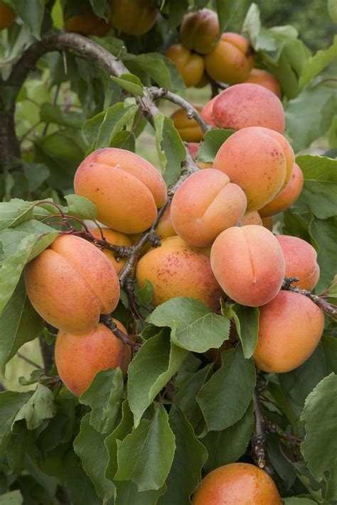 fruit trees the five easiest fruit trees to grow the garden