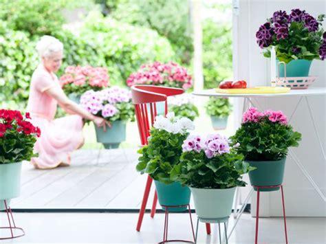 pelargonium tuin franse geranium mooi wat planten doen