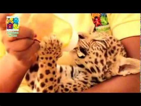 imagenes de jaguar bebe beb 233 jaguar rescatado en el zool 243 gico de cali youtube