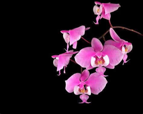 orchidea significato dei fiori significato orchidea significato fiori orchidea