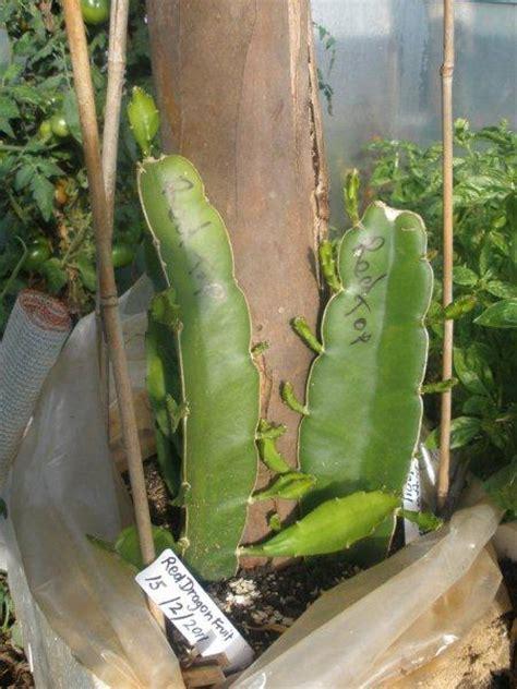 How To Build A Trellis pitaya red dragon fruit vine hylocereus polyrhizus