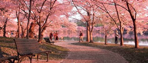 Pohon Cherry By One Home what s the deal with the cherry blossoms the fourth
