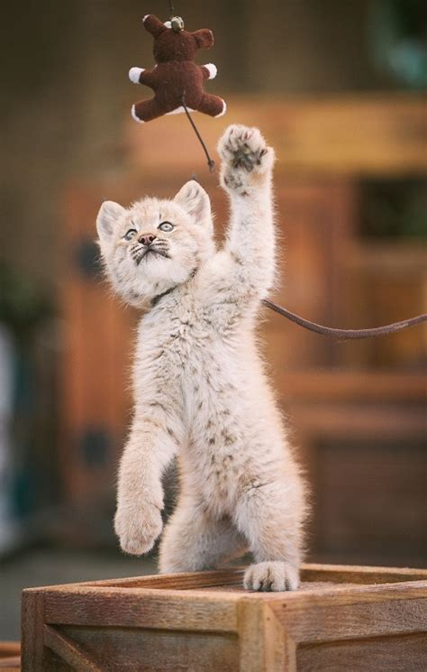 baby lynx  point defiance zoo south sound magazine