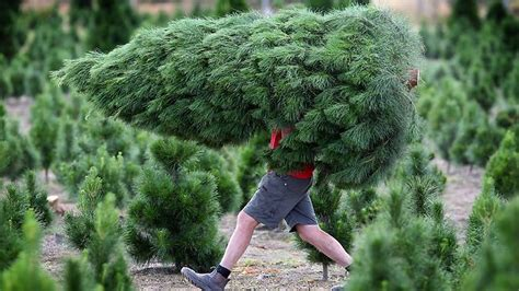 xmas trees on steroids get early chop herald sun
