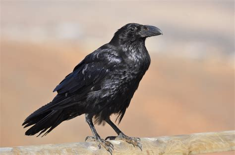 the birds and other bad reputation of crows demystified