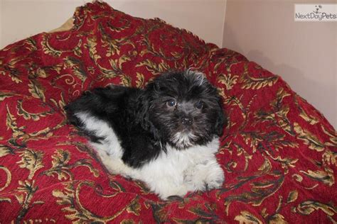 havanese rescue florida havanese small breeds mighty breeds picture