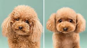 before and after photos of incredible dog grooming