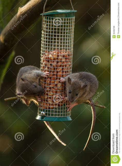 rats on a bird feeder royalty free stock photos image