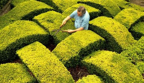 garden hedges types where to buy bushes or other bushes for