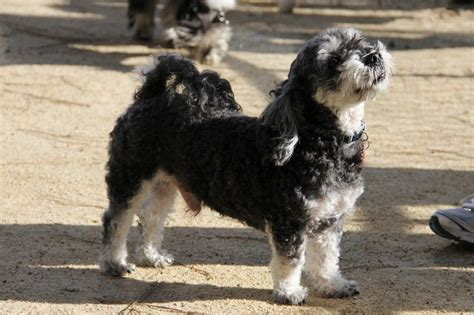 havanese puppies for adoption in california pin by havanese rescue on havanese rescue dogs