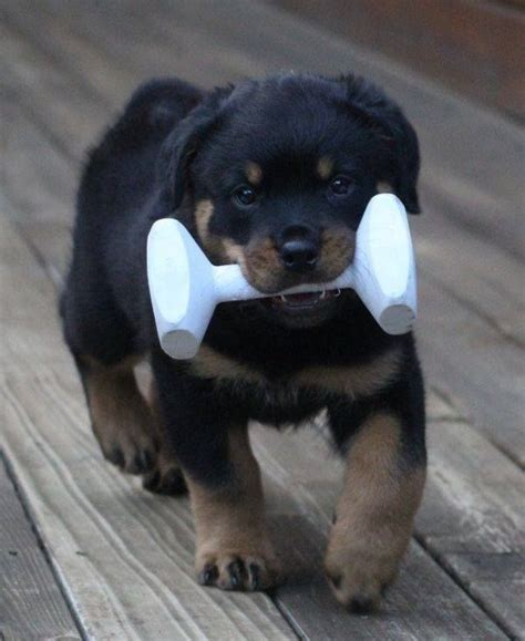 rottweiler exercise build 1094 best images about motivational on fitness inspiration workout