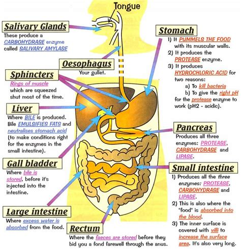 diagram digestive system human anatomy digestive system diagram goji actives diet