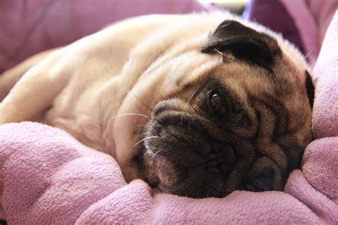 tired pug image gallery tired pug