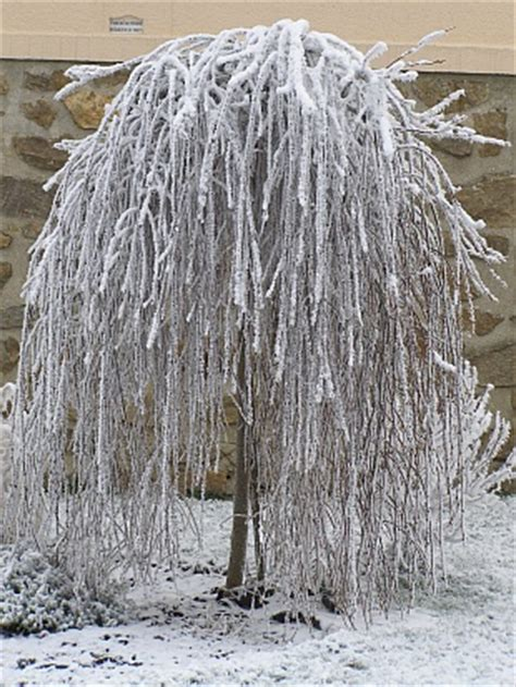 szkolka drzew  krzewow ozdobnych salix caprea pendula