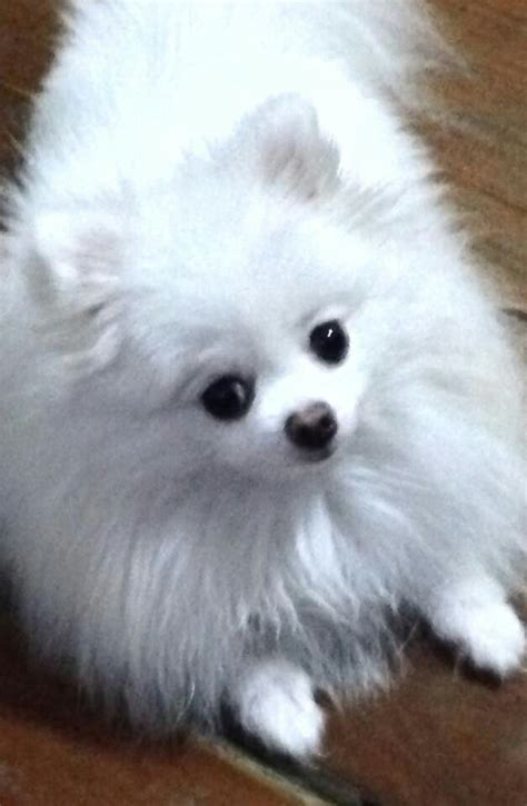 pomeranian rescue bc 1000 ideas about pomeranian rescue on pomeranian dogs pomeranians and