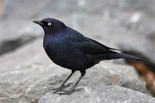brewer s blackbird