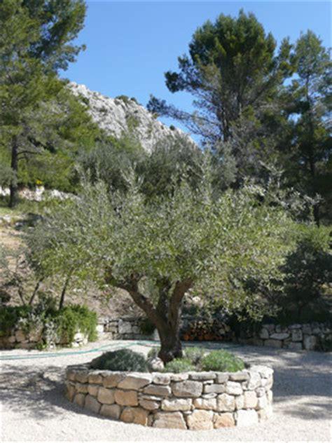 olivenbaum im garten olivenbaum im garten lyfa info